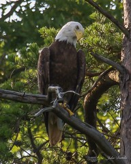 Deam Lake SP Male Bald Eagle (flintframer) Tags: american bald eagle raptors indiana deam lake state park clark county borden dattilo usa wow nature wildlife perched canon t5i ef100400mm