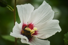 head over (CB-Photos) Tags: hummel flower bumblebee green nature honey honig exakta soligor 75200 oldlense exaktasoligor75200mm145afmc