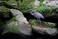 Blue heron (mpalmer934) Tags: great blue heron forest woods