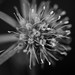 Field eryngo, flower (vogl_claus) Tags: eryngo flower macro bw