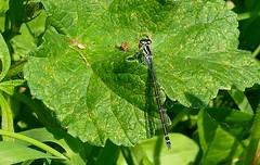 AzureDamselfly -Pembs Wales (2) (ailognom2005) Tags: azuredamselfly dragonfliesanddamselflies dragonflies damselfly pembrokeshire insects britishinsects wildlife britishwildlife macro blue