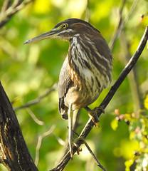 Bittern in a Tree (Dan Annable) Tags: heron bittern bird tree nature
