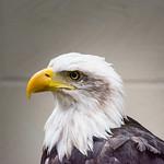 Bald Eagle at Eagle Heights thumbnail