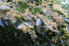Poliothyrsis sinensis flowers - Kew (2) (stephenmid) Tags: kew royalbotanicgardenskew poliothyrsis poliothyrsissinensis salicaceae chinesepearlbloomtree