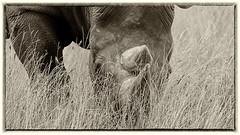 Eye Level (Obelus2000) Tags: rhino rhinoceros blackrhino black yorkshire yorkshirewildlifepark grass grazing mono fz2000 fz2500