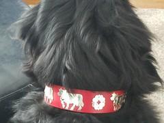 Boomer (Alpen Schatz - Mary Dawn DeBriae) Tags: happy customer alpenschatz bernesemountaindog dog swissdogcolar hunterswisscrosscollar doggles stein