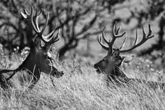 Red deer :) (John Campbell 2016) Tags: beecraigscountrypark westlothian scotland reddeer deer antlers amazinanimals monarchoftheglen monarchy monarch themonarch blackandwhite blackandwhitephotography blackandwhitephotos bnw bnwphotography beautifulbeasts majesticanimals majestic relaxing grass eatinggrass canon1300d canon canoncamera canoncaptures canonphotography naturephotography nativetoscotland nature lovenature