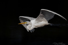 Egret in Flight (phil_mcgrew) Tags: egret bombayhooknwr delaware bridinflight