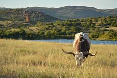 Grazing by the Jed Johnson Tower and Lake (radargeek) Tags: wichitamountains wildliferefuge oklahoma 2018 august longhorn jedjohnsonlake tower prairie