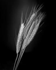 Whole Wheat (Howard Sandler (film photos)) Tags: wheat stilllife blackandwhite 4x5 largeformat graflex crowngraphic xtol schneiderkreuznach xenar