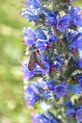 Six-Spot Burnet Moth (PLawston) Tags: uk england britain east sussex south downs national park seven sisters country sixspot burnet moth insect vipers bugloss flower