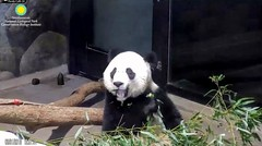 2018_08-31j (gkoo19681) Tags: beibei chubbycubby fuzzywuzzy adorableears brighteyed beautifuleyes bootime toofers toocute beingadorable sohappy posing meltinghearts yummyapple darling amazing precious ccncby nationalzoo