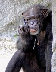 The Finger (PelicanPete) Tags: chimpanzee old female matriarch fredrika zoo southflorida usa unitedstates zoomiami finger thefinger miamifloridausa sunrays5 coth coth5