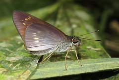 Damas clavus? (Over 4 million views!) Tags: butterfly hesperiidae idme panama skipper insect butterflies damasclavus