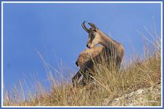 Chamois 180907-65-P (paul.vetter) Tags: rupicaprarupicapra capriné chamois bovidé gamuza gemse mountaingoat mammifère
