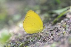 Eurema nise (fabriciodo2) Tags: euremanise papillon mariposa macro nature sigma150 mexico