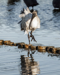 Walk the Walk (Arranion) Tags: birds bird nature intaka island animal animals wildlife wings feathers feather canon 5dmk2 african ibis white hadida birdwatching 14x extender