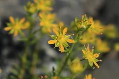 saxifrages (bulbocode909) Tags: valais suisse mex fleurs saxifrages nature montagnes vert jaune