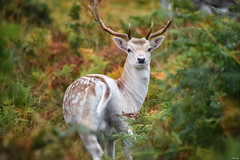 A lonely deer in the overgrowth! (Nina_Ali) Tags: stag fallowstag bradgatepark leicestershire deer september2018 nature naturephotography fauna england autumn2018