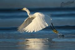 Snowy Egret 9_14 (krisinct- Thanks for 15 Million views!) Tags: nikon d500 500 f4 vrg