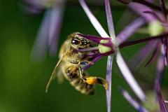 Biene (MatthiasPR) Tags: 105mm f28 sigma nikon d500 objektiv nektar