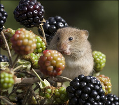 Harvest Mouse (Craig 2112) Tags: harvest mouse micromys minutus rodent mammal berries autumn macro bramble