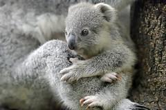 Koala Baby (Michael Döring) Tags: duisburg kaiserberg zooduisburg koala afs600mm40e d850 michaeldöring inexplore