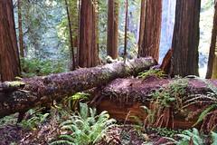 Trillium Falls Trail #4 (Randy Gardner 88) Tags: trilliumfallstrail prairiecreekredwoodsstatepark redwood redwoods redwoodtrees redwoodnationalandstateparks redwoodpark humboldt humboldtcounty humboldtcountycalifornia california trees ferns trail trails trillium