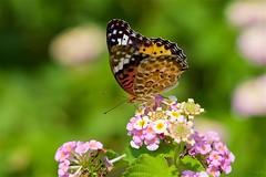 ツマグロヒョウモン Indian fritillary (takapata) Tags: sony sel90m28g ilce7m2 macro nature flower butterfly insect