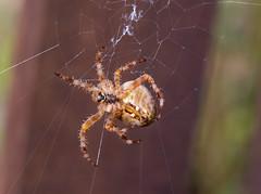 Web building orb weaver (RebelRob) Tags: spider araneusdiadematus arachnid orbweaver crossorbweaver britishcolumbia vancouverisland victoriabc