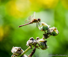 Dragonfly (stedanphotography) Tags: macro insect nikon d3300