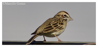 Lark Sparrow (Chondestes grammacus) LASP - Left Texas to Chill in South Florida