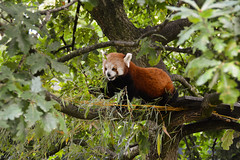 Red Panda (Ailurus fulgens) (Seventh Heaven Photography) Tags: red panda lesser bearcat catbear ailurusfulgens ailurus fulgens animal mammal chester zoo cheshire nikond3200 nima female oak tree bamboo leaves foliage endangered
