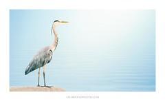 Mr 'H' (Amar Sood) Tags: amarsoodphotocom amarsoodphotography heron wildlife minimal minimalist water blue 169 sony a7rii 702004 nature