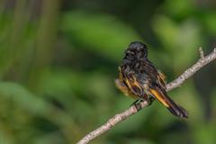 American Redstart (Joe Branco) Tags: photoshopcc2018 nikond850 joebrancophotography wildlifephotography canada nikon americanredstart green