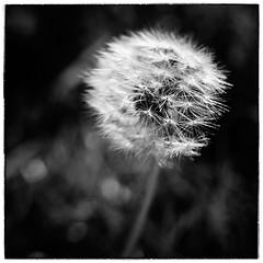 A Bit Seedy (Alex . Wendes) Tags: seedhead seeds dandelion dandelionhead blackandwhite monotone mono lensbaby lensbabycomposor sweet35optic sweet35 12mmextensiontube f58 f56 square exposurex3
