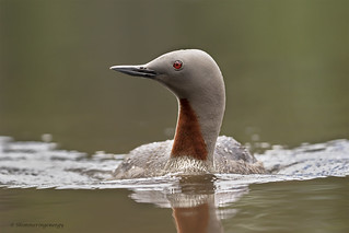 Red-throated loon | Plongeon catmarin