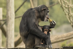 Chimpansee - Safaripark Beekse Bergen - Hilvarenbeek (Jan de Neijs Photography) Tags: dierentuin zoo tamron tamron150600 150600 dierenpark nl holland thenetherlands dieniederlande diergaarde g2 animal dier beeksebergen safaripark safariparkbeeksebergen hilvarenbeek chimpansee aap ape noordbrabant sbb monkey chimp pantroglodytes face