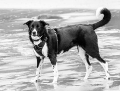 Puppy Paddling (manxmaid2000) Tags: dog puppy beach black white collie tail sea canine coat harness strong water wet pet walk exercise fuji 55200 doggy young pup