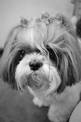 Lili (marinamoia) Tags: cachorro cachorra dog dogs cachorros shitzu shihtzu filhote pelo fur cute fofo fofura cuteness animal animaldeestimação pet pets puppy