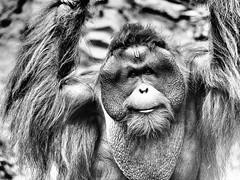 Pongo (*17.01.1998) (alterahorn) Tags: pongo orangutan menschenaffe apes singes allwetterzoo münster zoorangerie zoo tierpark tiergarten tier porträt portrait sw bw nb blackandwhite noireetblanc animal olympus penf mzuiko mzuiko40150mm
