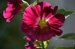 Загадочная мальва. (Angelok-Happy) Tags: сад цветок мальва красотка чудо природа цветоксчастья