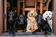 Dogs in a doorway (fwisneski) Tags: labradorblacklab goldenretreiver blackmalinois maltipoo belgianmalinois dogs nikon d850 50mm f18 dog portraits availablelight doorway