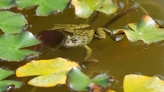 Frogs on the lake (1/3) (Franck Zumella) Tags: frog grenouille animal nature green vert verte water eau lake lac wildlife small petit yellow jaune autumn automne