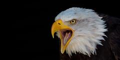 I heard the eagle call (pe_ha45) Tags: weiskopfseeadler baldeagle haliaeetusleucocephalus falknerei falconry hellenthal