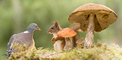red squirrel and dove with a mushroom (Geert Weggen) Tags: animal autumn bright bud cheerful closeup cute flower foodanddrink horizontal humor land lightnaturalphenomenon mammal moss mushroom nature perennial photography plant red rodent springtime squirrel summer sweden tasting toadstool fun fight fall couple attack young dove bird woodpigeon geert weggen jämtland bispgården ragunda hardeko