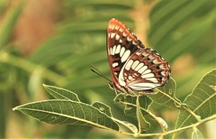 Lorquin's Admiral Butterfly on Putah Creek (Ruby 2417) Tags: admiral butterfly insect wildlife nature putah davis yolo