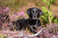 Buddy (Flemming Andersen) Tags: labrador portrait pet nature dog black outdoor green buddy hund animal