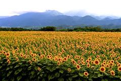 crowd (tez-guitar) Tags: sunflower summer flower bloom blossom yellow mountain peaks highland leicax1 leica yamanashi
