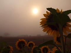 SONNENBLUMEN AN DER PFERDEKOPPELP8287230 (hans 1960) Tags: sun sunrise sonne sonnenaufgang sol soleil sunflower sonnenblumen blossom mist misty nebel fog licht light tress farben colours nature natur outdoor august summer sommer
